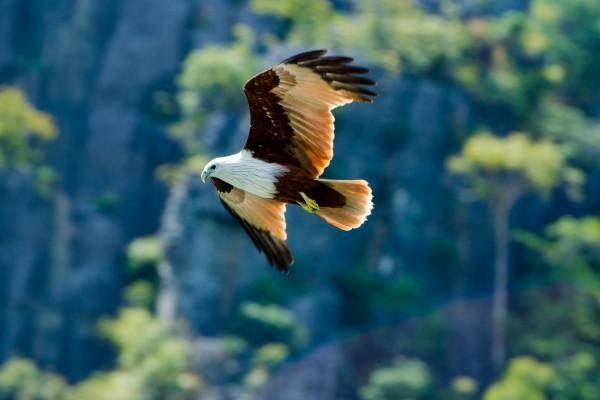 Una bonita águila en vuelo