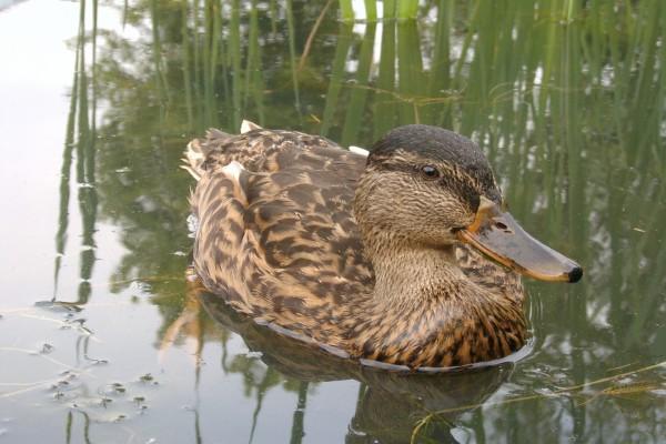 Un hermoso pato en el agua
