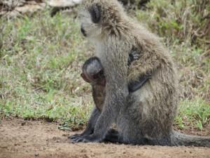 Un bebé mono agarrado a su madre