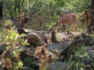 Postal: Ciervos en el bosque