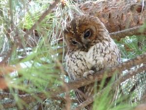 Lechuza en un pino