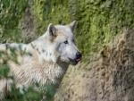 Un lobo blanco relamiéndose