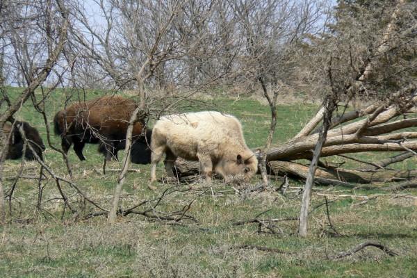 Bisontes en la hierba