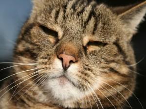 La cara de un gran gato dormido