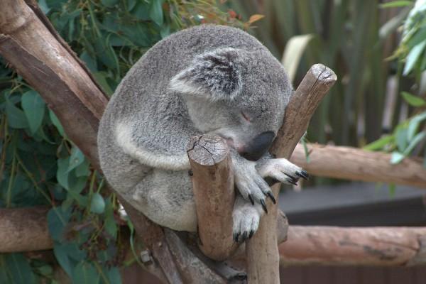 Koala dormido entre unos troncos