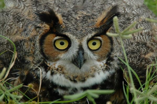 Grandes ojos amarillos de un búho