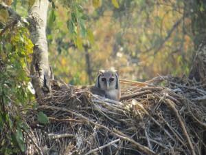 Búho en un gran nido