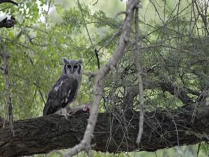 Búho con una presa en el árbol