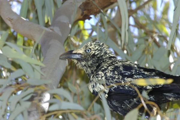 Un pájaro negro con algunas plumas amarillas