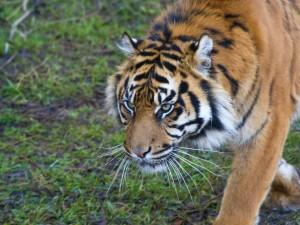 Un tigre caminando