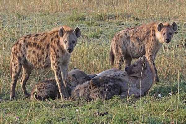 Grupo de hienas