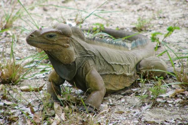 Iguana caminando sobre hojas otoñales