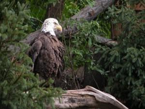Postal: Gran águila posada en un árbol