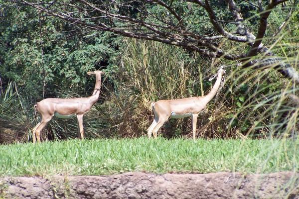 Impalas junto a los árboles