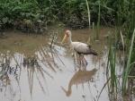 Gran ave caminando en el agua