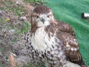 Un joven halcón