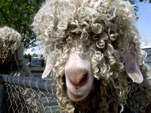 Oveja con la cara cubierta de lana rizada