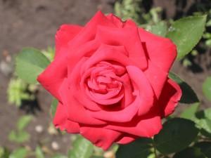 Postal: La belleza de una rosa