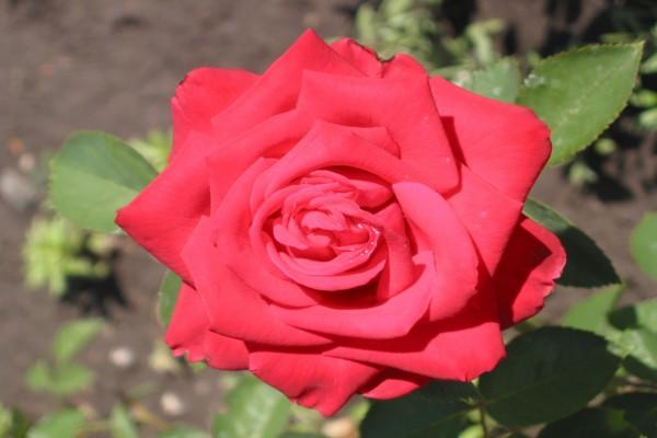 La belleza de una rosa