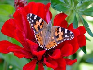 Gran mariposa sobre una flor roja