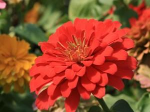 Flor con pequeños pétalos rojos