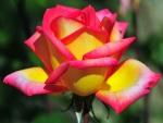 Una rosa con pétalos amarillos y rosas