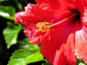 Una gran flor de hibisco