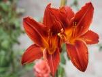 Dos lilium de color rojizo