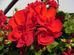 Flores de color rojo en la planta
