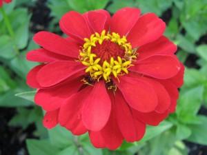 Una zinnia roja
