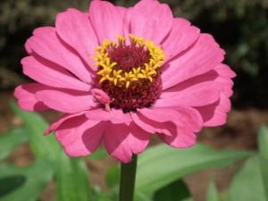 Postal: Bonita zinnia de color rosa