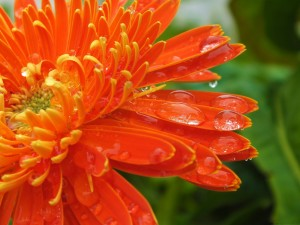 Postal: Gotas de agua sobre una gran flor naranja