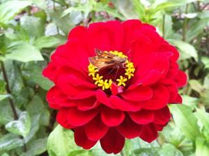 Mariposa sobre una gran zinnia roja