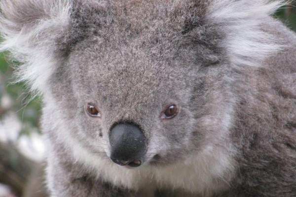 Un bonito koala