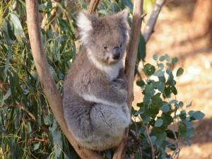 Koala sentado entre dos ramas