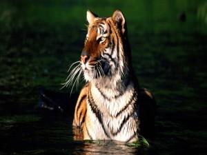 Tigre disfrutando de un baño