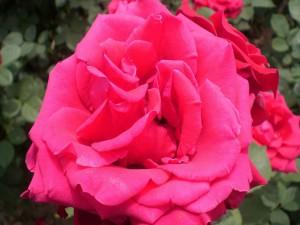 Postal: Gran rosa de color rosa