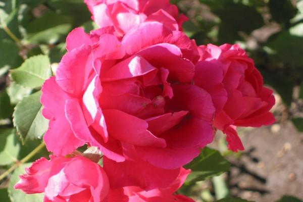 Rosas de color rosa en la planta