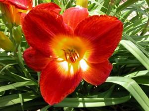 Una hermosa flor de color rojo con el centro amarillo
