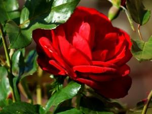 Una hermosa rosa roja en el rosal