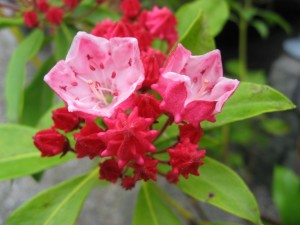 Postal: Brotes florales de una kalmia latifolia