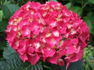 Postal: Flores fucsias de una hortensia
