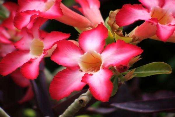 Flores de adenium