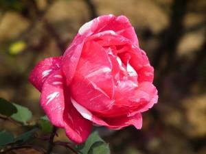 Postal: Bonita rosa jaspeada