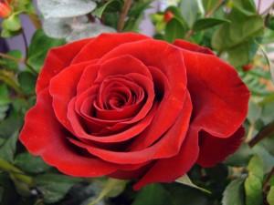 Una rosa en el rosal