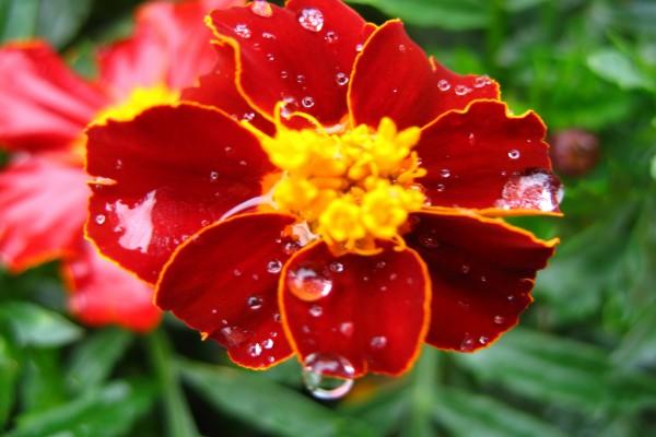 Gotas de agua en los pétalos de una flor roja