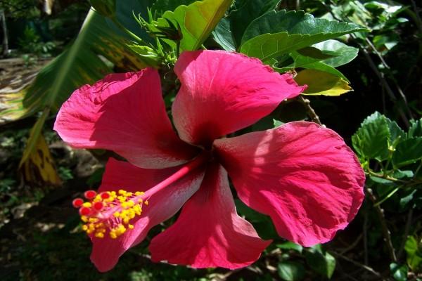 Un hibisco fucsia en la planta