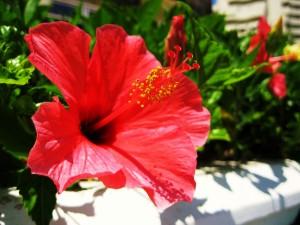 Postal: Hibisco rojo