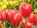 Unos preciosos tulipanes