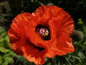 Amapola (Papaver bracteatum)